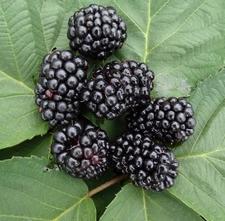 Blackberry 'Hymalaya'