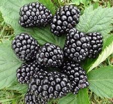 Blackberry 'Thornfree'