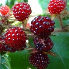 Blackberry Phoenicolasius