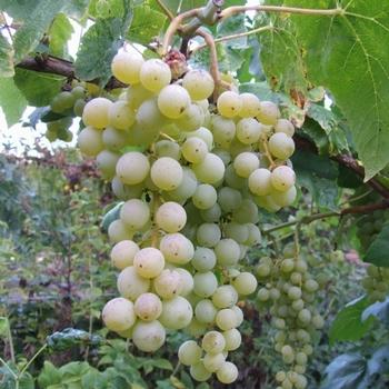 Grape Vines 'Himrod'