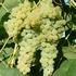 Grape Vines 'Lakemont'