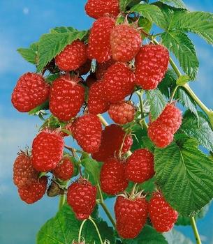 Rubus Idaeus 'Schönemann'