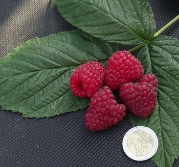 Raspberry Himbo Top