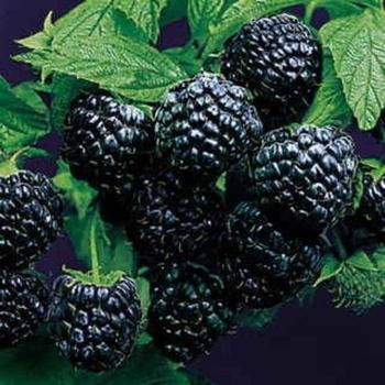 Framboos  'Black Jewel'