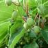 Kiwi berry  Issai