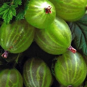 Gooseberry Hinnonmaki Green