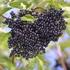 Elderberry Haschberg
