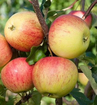Appelboom  'Laxton's Superb'