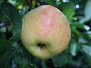 Apfelbaum  'Glorie van Holland'