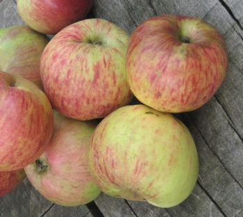 Apple 'Gravensteiner'