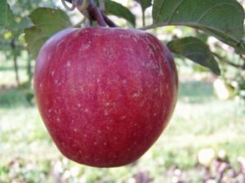 Apple 'Groninger Kroon'