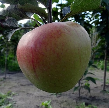 Apple 'Horneburger Pfannkuchen'