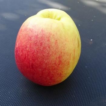 Appelboom  'Notarisappel'