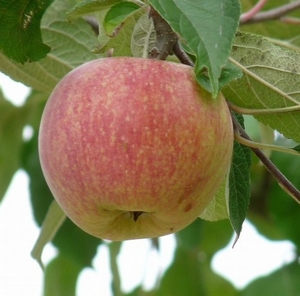 Appelboom  'Rode Dijkmanszoet'