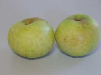 Appelboom  'Wieneker'