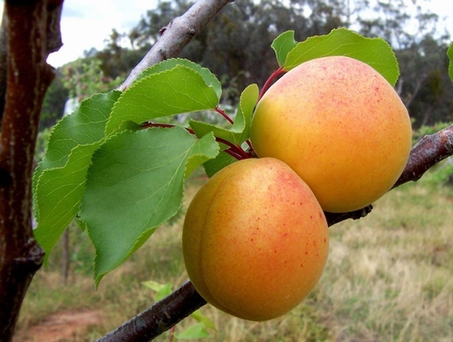 Apricot 'Hongaarse'