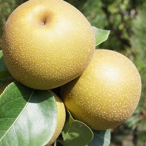 Asian Pear 'Kosui'