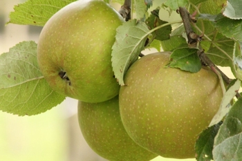 Apple 'Belle de Boskoop'