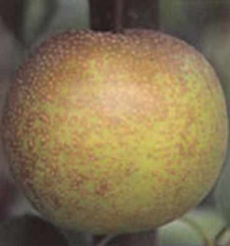 Asian Pear 'Tama'