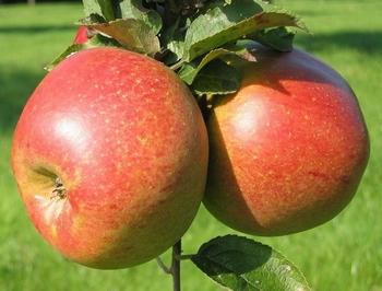 Appelboom  'Dubbele Rode Bellefleur'