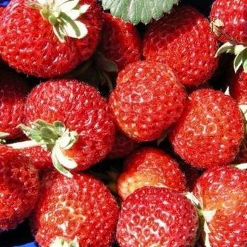 Aardbeienplanten  'Mieze Schindler'