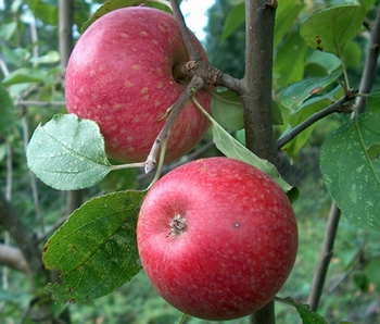 Appelboom  'Sterappel'