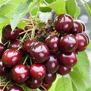 Cherry 'Sylvia'