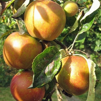 Appelboom  'Cox's Orange Pippin'