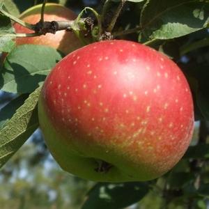 Apple 'Kaiser Wilhelm'