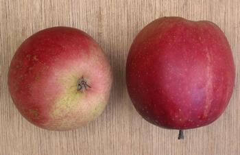 Appelboom  'Summerred'