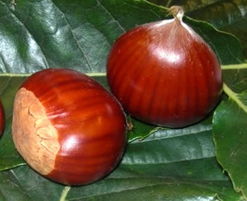 Chestnut Marron de Lyon