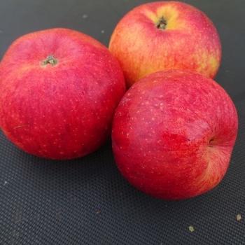 Apple 'Rubinola'