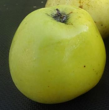 Pommier 'Glockenapfel'