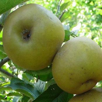 Appelboom  'Reinette Grise du Canada'