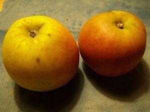 Apple 'Zuccalmaglioreinette'