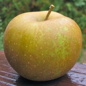 Apple 'Zabergäu Reinette'