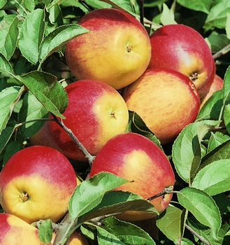 Appelboom  'Rewena'