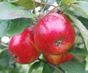Apple 'Purperroter Cousinot'