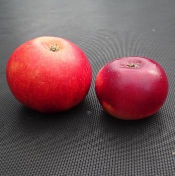 Appelboom  'Red Devil'