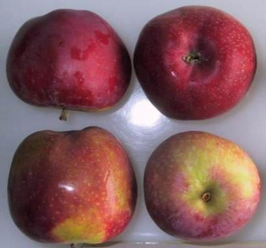Appelboom  'Roter Astrachan'