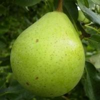 Pear 'Beurre de Naghin'