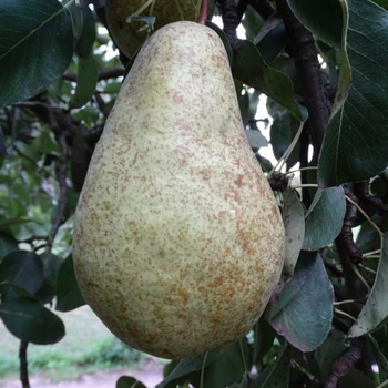 Pear 'Abate Fetet''