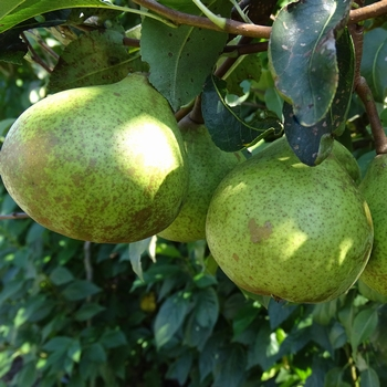 Pear 'Avezaath Kapel'