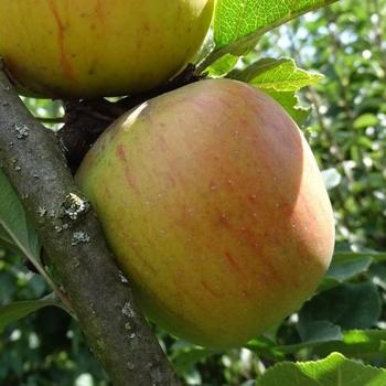 Appelboom  'Hasenkopf'/ 'Prinzenapfel'