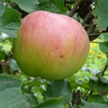 Apple 'Ambrosia'