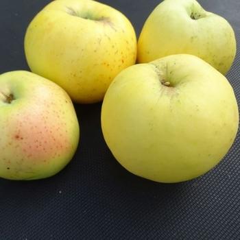Apple 'Antonowka'