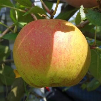 Apple 'Karmijn de Sonnaville'
