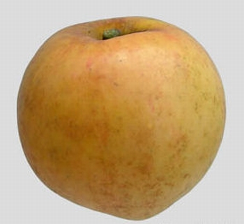 Apple 'Orange Renette Pomona'