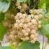 White currant 'White Versailles'
