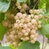 White currant 'White Versailles'